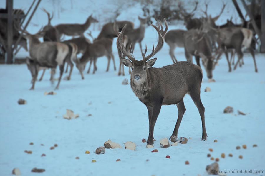 wild-deer-feeding-bavaria-germany-wildtierfuetterung-graswangtal-bayern