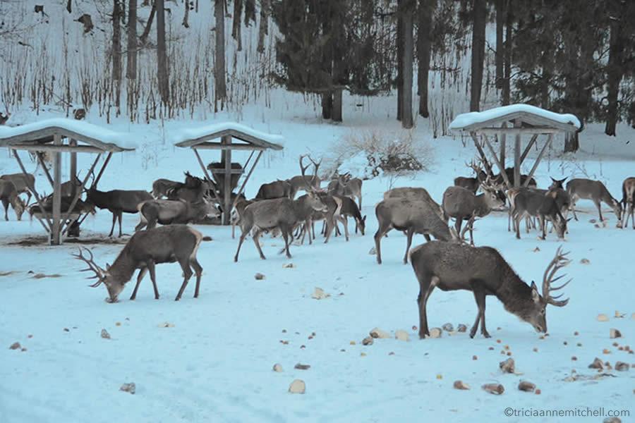 wild-deer-feeding-bavaria-wildtierfuetterung-graswangtal-bayern1