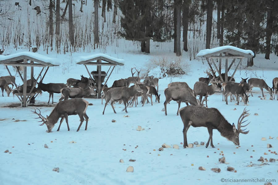 Approximately 25 deer eat food that has been distributed on the snowy ground. A forest is visible in the background, and it is a cloudy day. There are several wooden shelters visible at this event, held near Oberammergau, Germany.