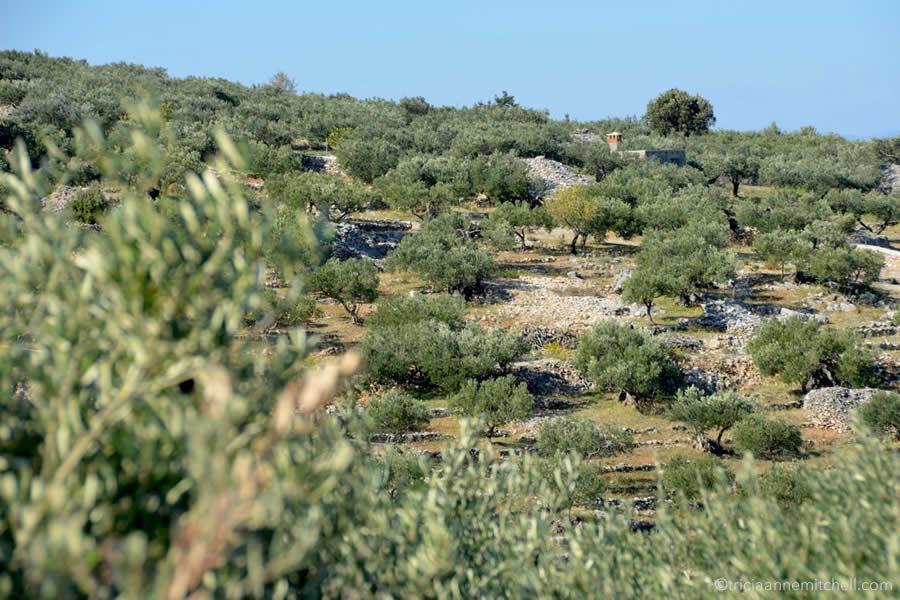 brac-island-croatia-olive-grove