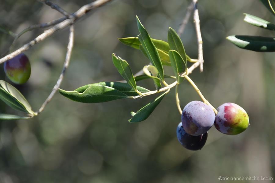 brac-island-croatia-olive-oil-harvest
