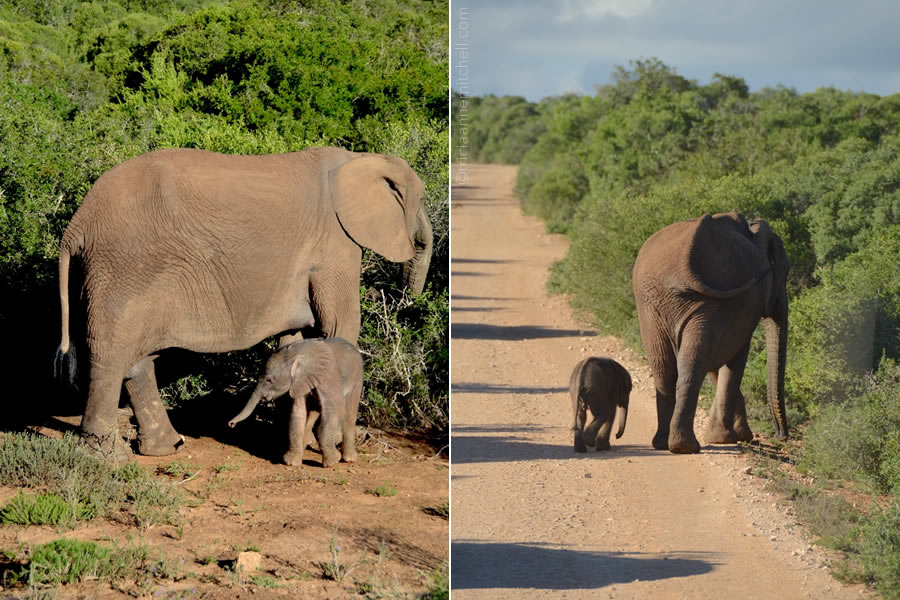 A young elephant stands closely to its mother in a South African national park.