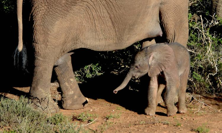 A baby elephant stands close to its mother, inside South Africa's Addo Elephant National Park