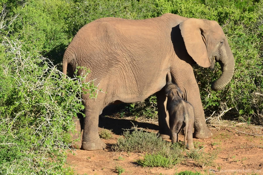 A young elephant breast feeds in Addo Elephant National Park.