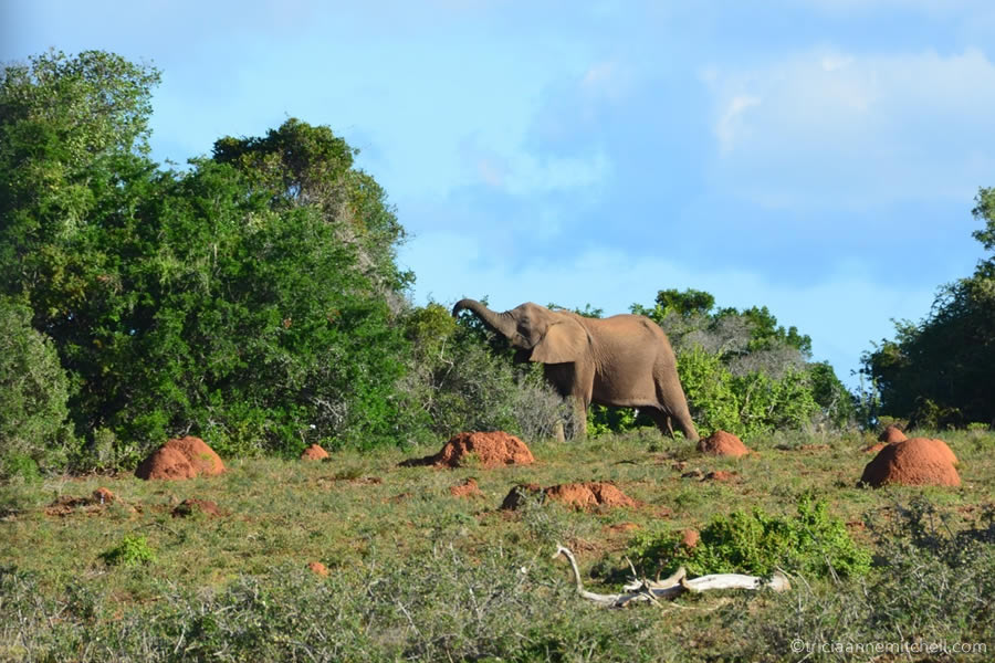 An elephant feeds in the bush of the Addo Elephant National Park in South Africa. Several termite mounds are in the foreground.