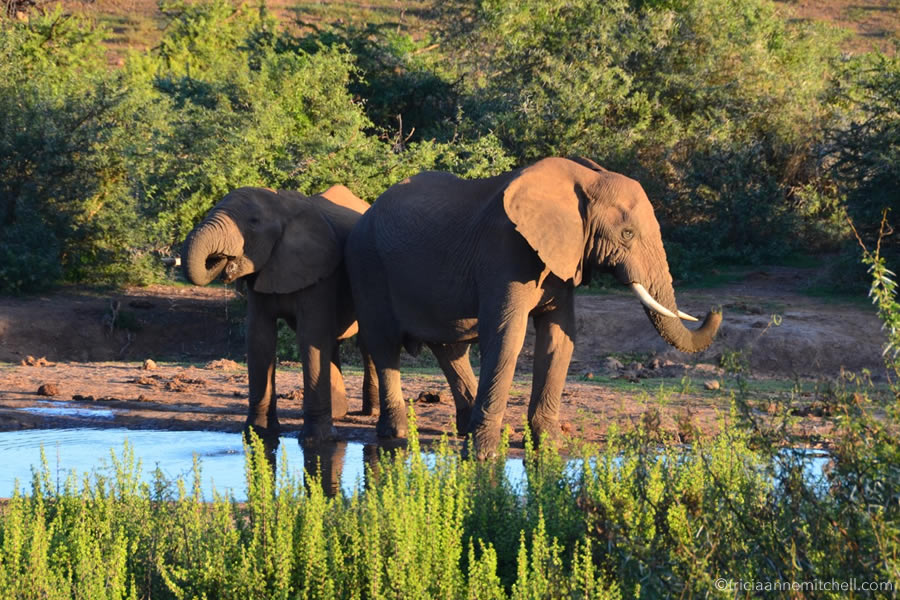 A pair of elephants drink from a watering hole in South Africa.