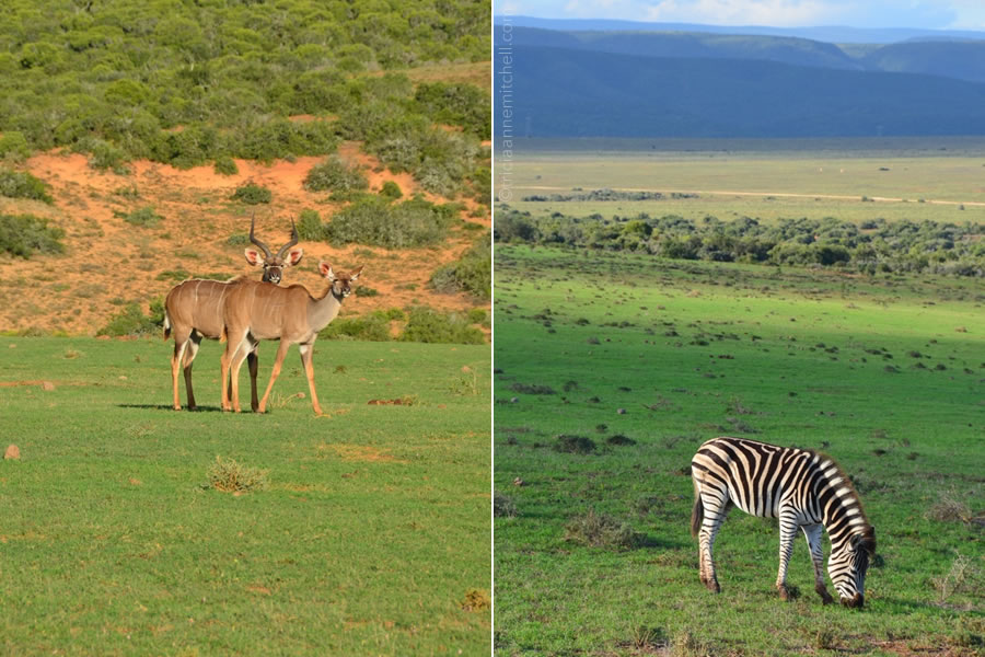 A pair of kudu (left) and a solo zebra (right) in Addo Elephant National Park.