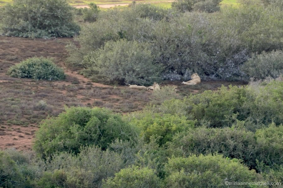 Lions lie on the ground in Addo Elephant National Park, just before sunset.
