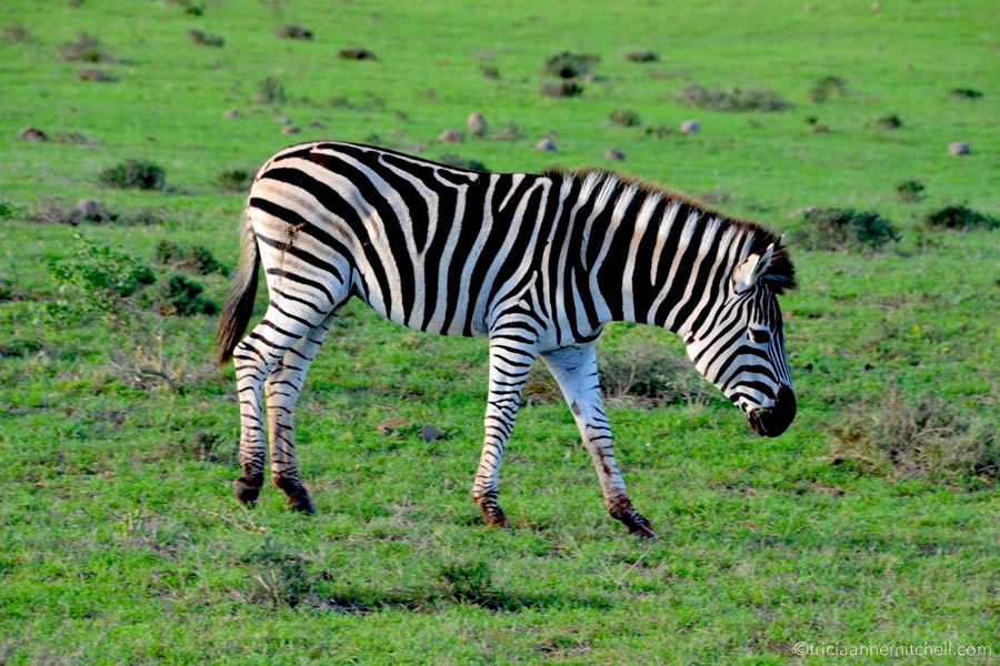 A zebra grazes on bright green foliage in Addo Elephant National Park, in South Africa.