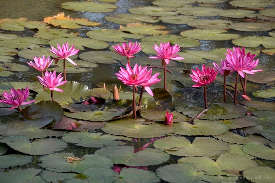 Pink lotus blossoms fill a pond in Cambodia.
