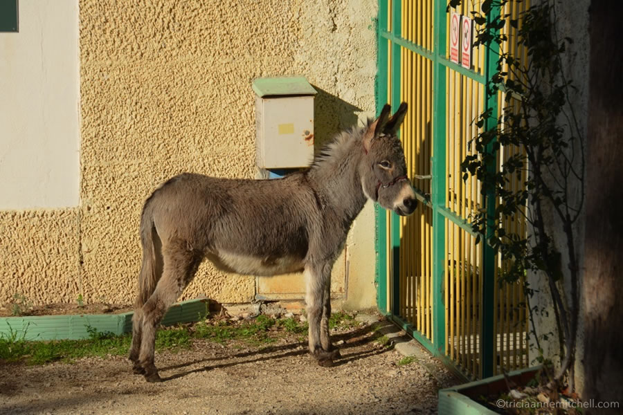 Donkey stands by gate Marjan Split Croatia