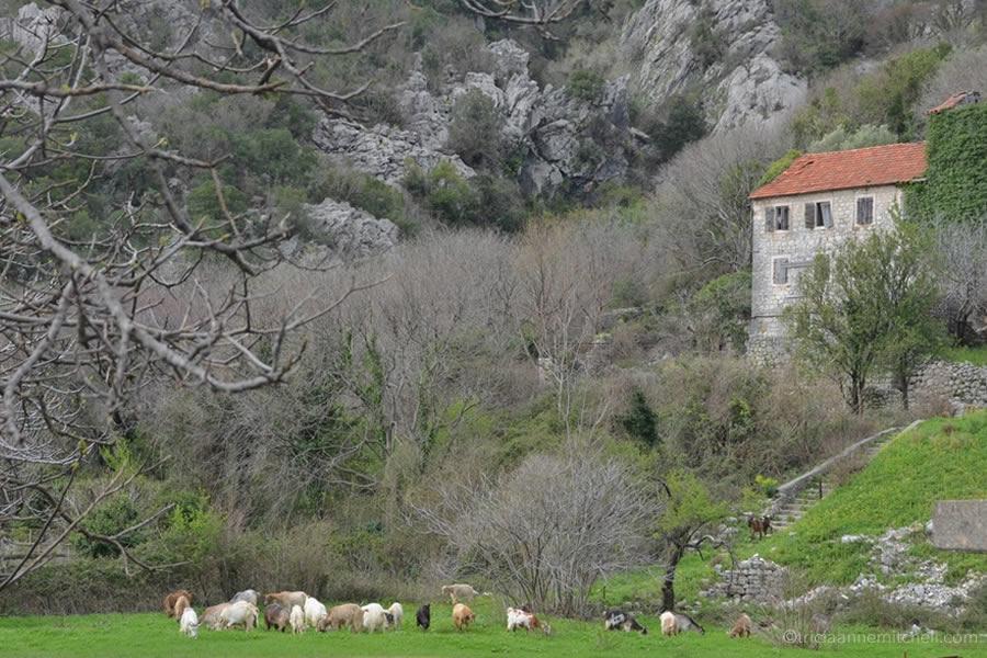 Risan Montenegro goats grazing