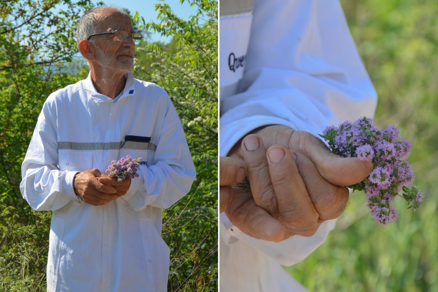 A man wearing a white beekeeping suit holds a cluster of lavender-colored wild thyme in his hand.
