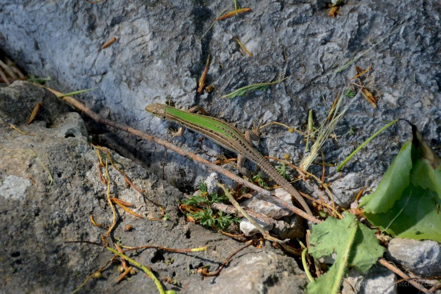 A green lizard crawls on the ground in Skadar Lake National Park, Montenegro.