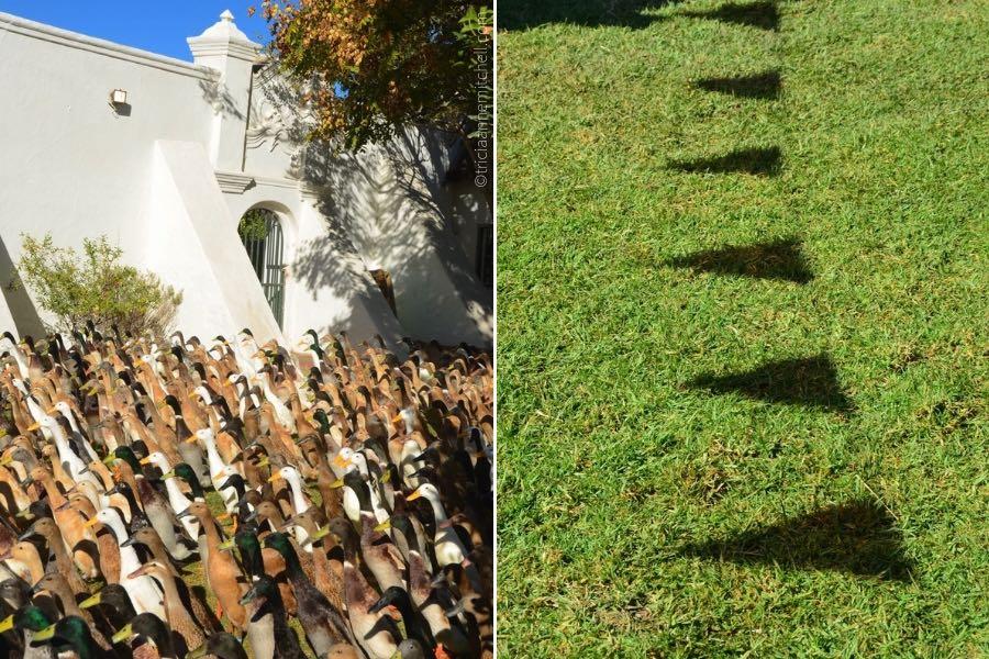 duck parade South Africa wine country Vergenoegd Wine Estate Stellenbosch
