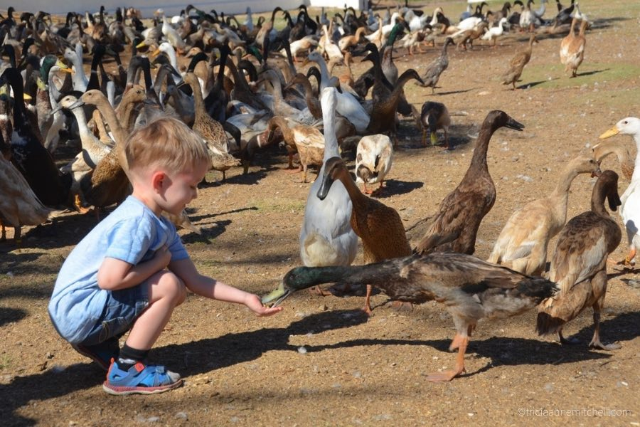 A spectator feeds a duck at the Vergenoegd Winery duck parade near Stellenbosch, South Africa.