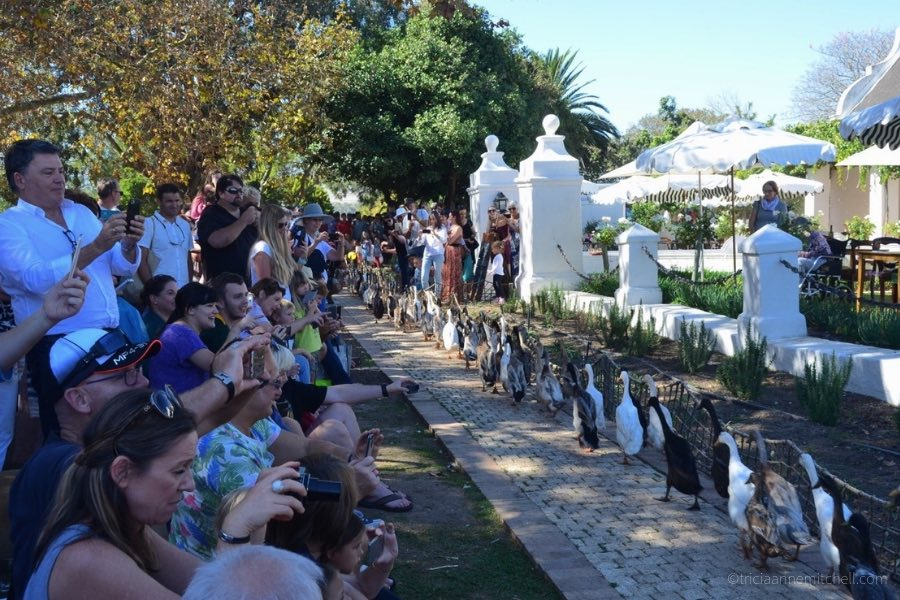 Spectators of all ages watch — and photograph — the duck parade at Stellenbosch's Vergenoegd Winery.