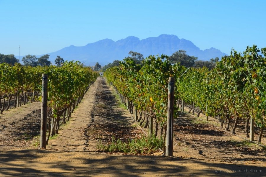 Rows of vines at the Vergenoegd Wine Estate, near Stellenbosch. The wine farm is well-known for its resident ducks, which help to combat pests.