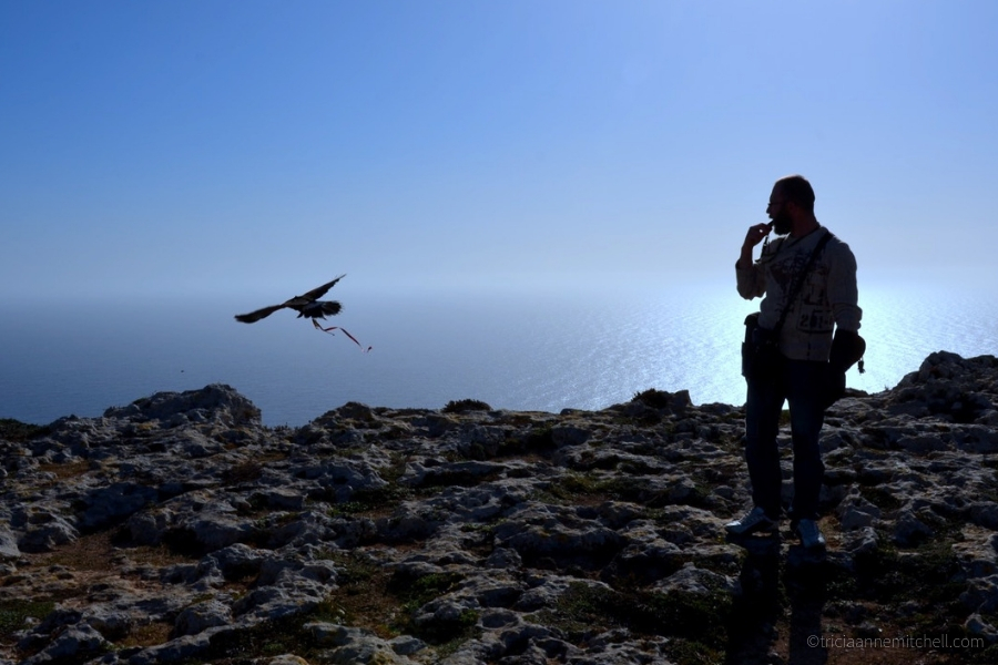 A Harris's Hawk flies along Malta's coast, with his handler standing by.