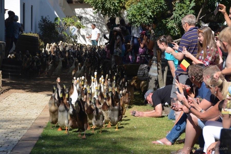 Spectators watch a procession of runner ducks at the Vergenoegd Winery near Stellenbosch, South Africa.