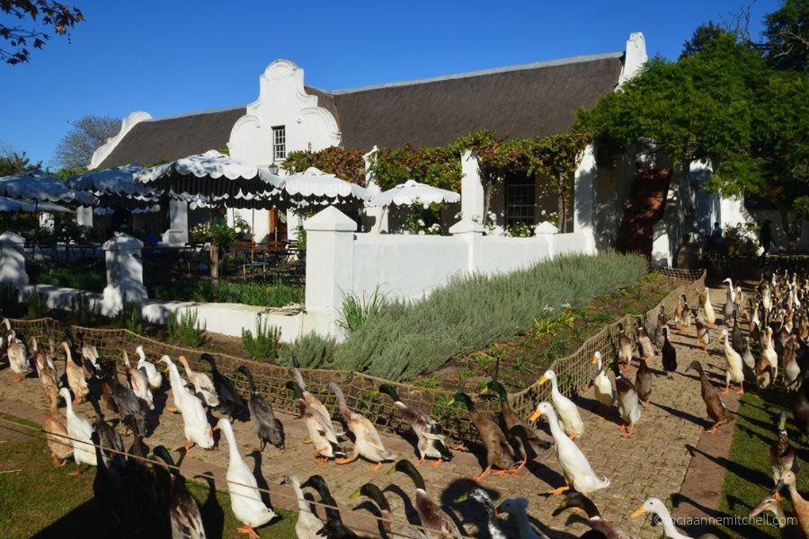 The procession of runner ducks at South Africa's Vergenoegd Wine Farm.