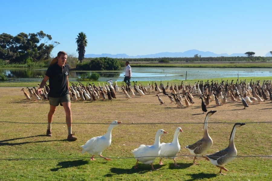 An employee of the Vergenoegd Wine Estate herds geese, with Indian Runner Ducks in the background.