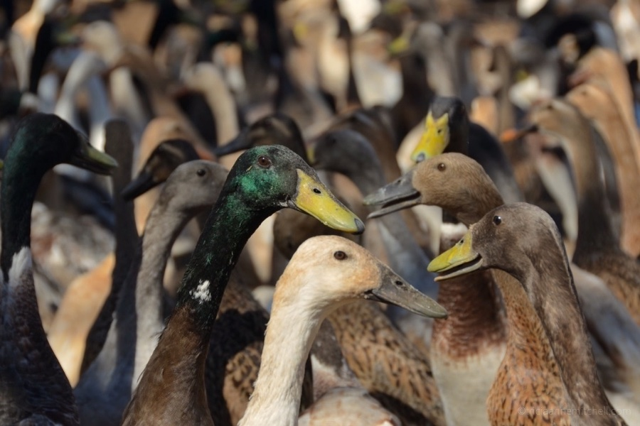 Vergenoegd Winery Duck Parade Stellenbosch South Africa