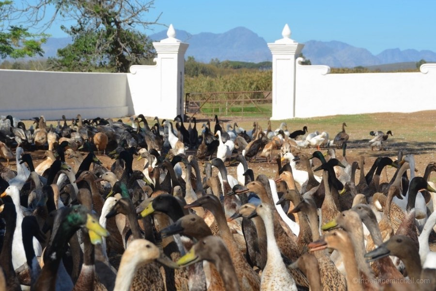 A flock of 1000+ ducks assembles before the Duck Parade at the Vergenoegd Winery near Stellenbosch, South Africa. Mountains and vines are visible off in the distance.