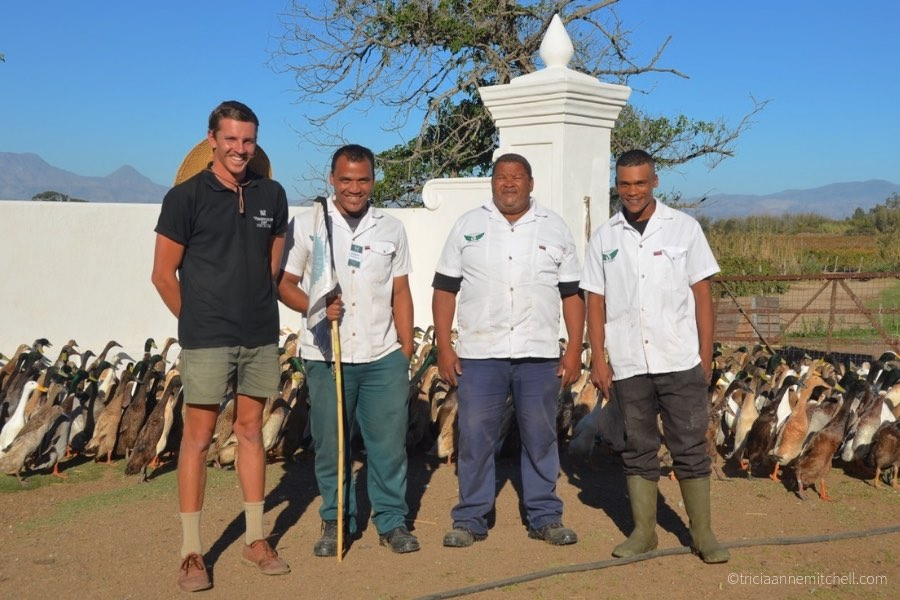 Vergenoegd Winery duck handlers