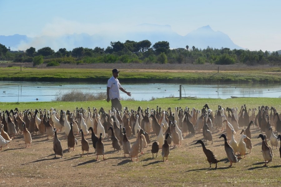 Runner Ducks at a winery near Cape Town, South Africa.