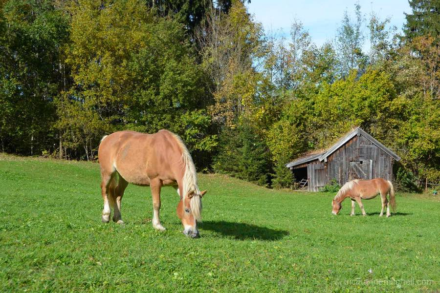 Two light-brown horses graze in a green meadow in Oberammergau, Germany. A wooden shed is in the background and the trees behind the animals are just starting to turn to autumn colors.