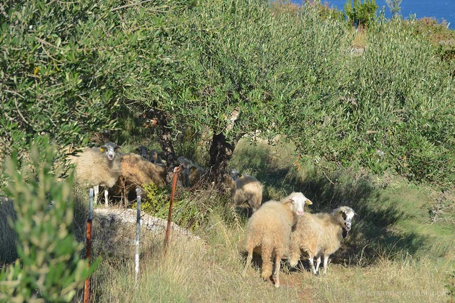 Sheep graze near olive trees on the Croatian island of Brac.