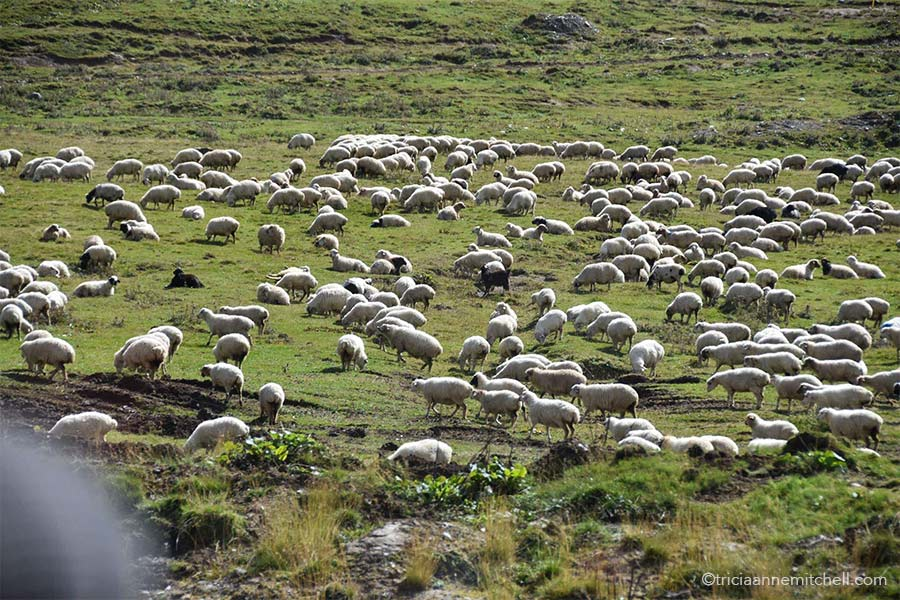 A flock of sheep soaks up the sunshine and grazes alongside the Georgian Military Highway.