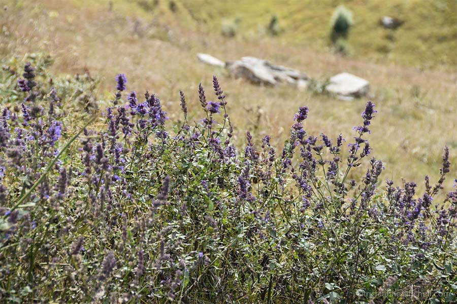 A cluster of delicate purple flowers resembling lavender grows on the grassy slopes near the church.