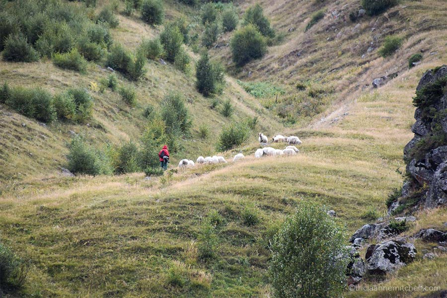 A shepherd wearing a red jacket looks after about 15 grazing sheep on the grassy slopes of a mountain in the Caucasus.